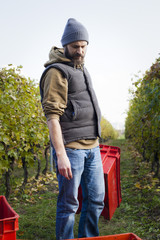 Man unloading grapes into crates in vineyard