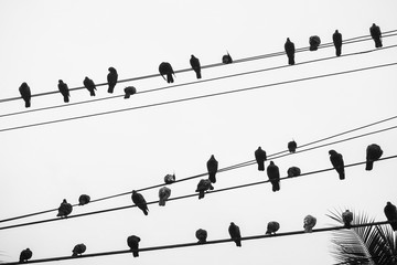 Silhouette of a Flock of Pigeons Perching on a Telegraph Wire in Bangkok, Thailand