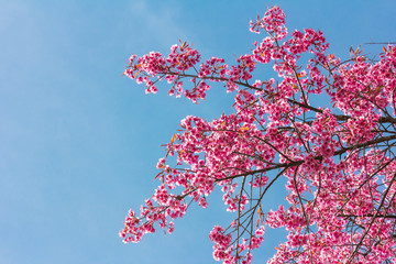 Pink blossoms on the branch with blue sky during spring blooming Branch with pink sakura blossoms and blue sky background. Blooming cherry tree branches against a cloudy blue sky