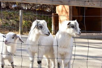 山羊の子供たち