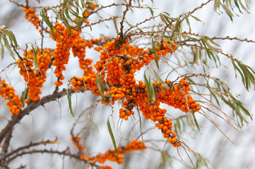buckthorn in the winter. Berries of sea-buckthorn are in winter