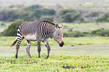 Cape Mountain Zebra Stallion