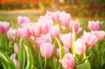 Pink tulip flower with sunshine.