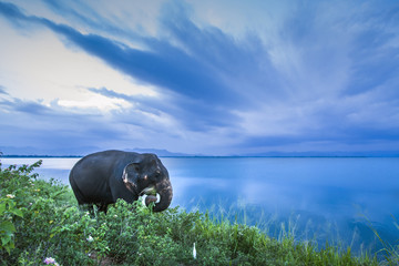 Sri Lankan Elephant in Uda Walawe national park, Sri Lanka