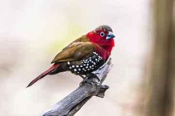 Male Red-Throated Twinspot