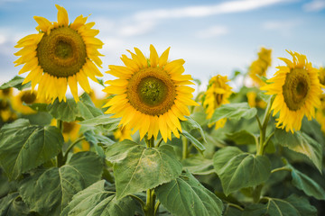 Sunflowers amongst a field in the afternoon in Queensland, Australia.