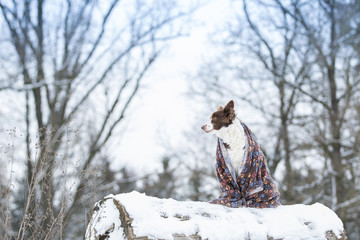 Border Collie auf einem Baumstamm im Schnee