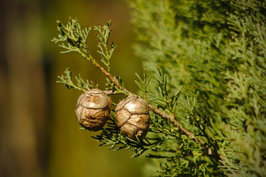Dry cones of Mediterranean cypress