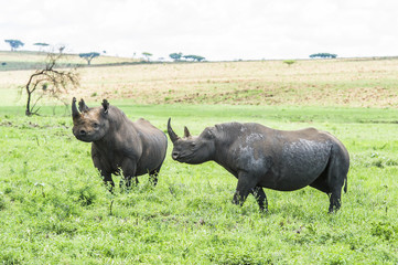 Black Rhino bull and cow