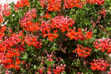 Flowers of a red geranium close up