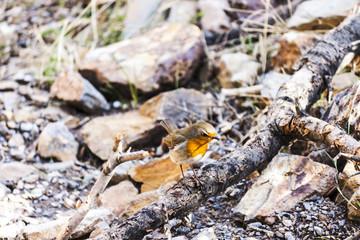 The robin bird is hunting