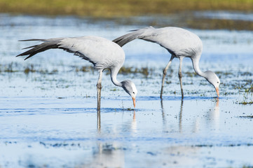 Blue Crane pair feeding in the shallow water of a wetland