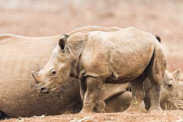 White Rhino calf standing near its protective mother