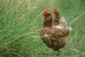 Glückliche Hühner im Grünen
