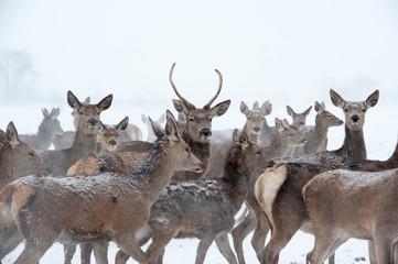Hirsche und Rehe im Schnee