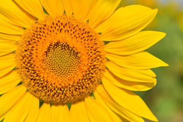 Sunflowers bloom in garden on the autumn.
