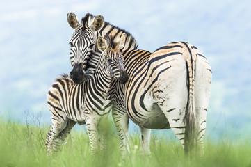 Burchells Zebra mother and foal