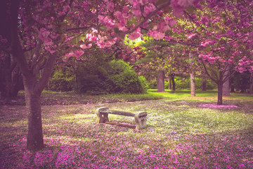Beautiful garden bench surrounded by pink flowering cherry blossoms and petals at springtime.