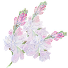 Tuberose - branches, medicinal, perfumery and cosmetic plants. Wallpaper. Use printed materials, signs, posters, postcards, packaging. Watercolor.