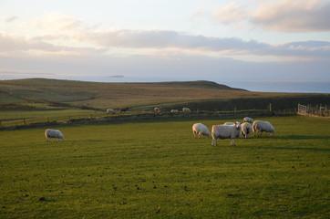 Canvas Prints Honey Pecore al pascolo nell'Irlanda del Nord