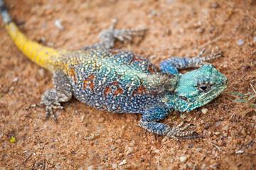 Blue-headed Tree Agama, Bloukop Koggel Mander