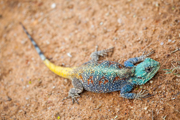Blue-headed Tree Agama, Bloukop Koggel Mander