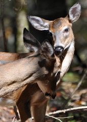 Two deer, kissing, cleaning, loving