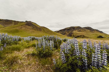 View of lupine on grassy hillside