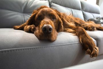 setter  dog on a sofa