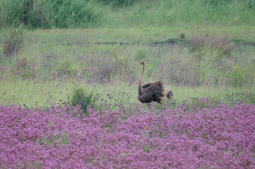 Ostrich running through a field of flowers at Rietvlei nature reserve