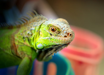 Photos bright green iguana