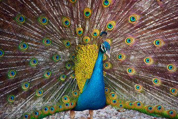 The peafowl include two Asiatic bird species the blue or Indian peafowl originally of India and Sri Lanka and the green peafowl of Myanmar, Indochina and Java and one African species the Congo peafowl