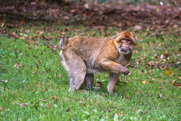 Monkey forest - Looking for food