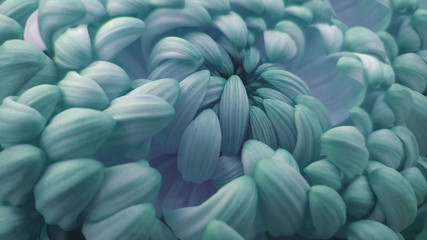 Macro. turquoise-pink big chrysanthemum flower.   Closeup.  Nature. Wall mural