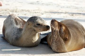 Baby sea lion with mom at Cerro Brujo, San Cristobal Island, Galapagos
