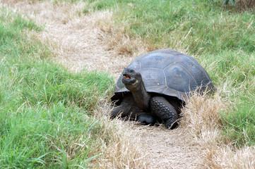 giant Galapagos tortoise in a grass field at El Chato Tortoise Reserve,Santa Cruz Island, Galapagos, Ecuador