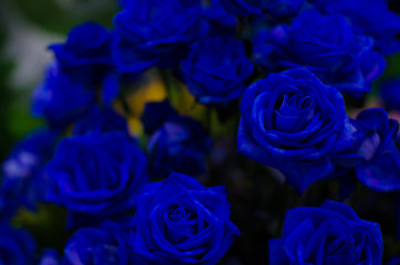 Dark Blue Rose Dark tone. Can use for Background, Texture or Wallpaper