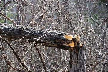 fallen tree after winter storm