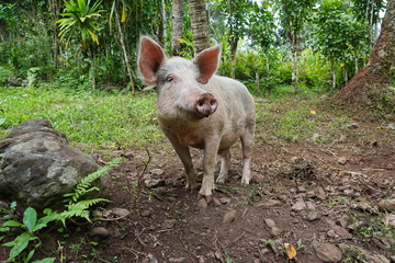 Pig in the wild, Rurutu island, French Polynesia, south Pacific, Austral archipelago