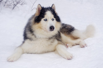Siberian Husky feels good in the cold and snow