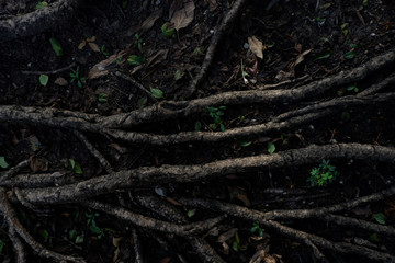 light and shadow of banyan tree Roots on the forest ground for n