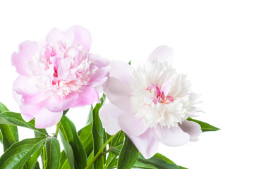 Beautiful soft pink peony  flowers. Floral design, screen wallpaper