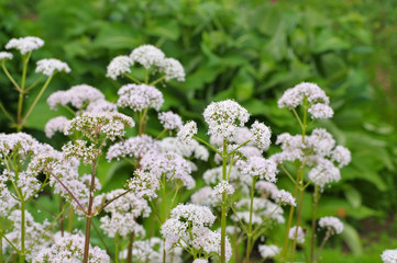 Baldrian - Valeriana, a medicinal plant