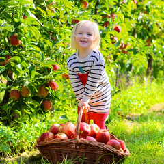 Little girl picking apples in a basket at the garden. Happy child playing in apple tree orchard on a farm in autumn. Healthy toddler having fun and eating fruits at fall harvest outdoors.