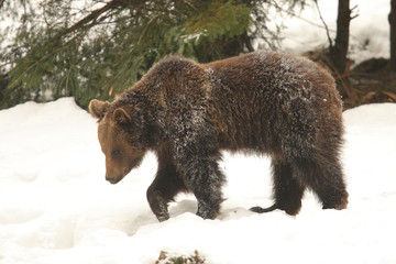 Brown bear into to the snow