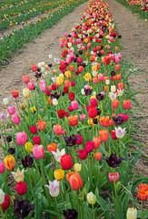 Fototapete - Reihe von Tulpen zum selber schneiden - viele Farben und Sorten