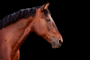 Wall Mural - Portrait of a bay horse on black background.