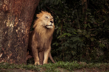Lion looking at the horizon
