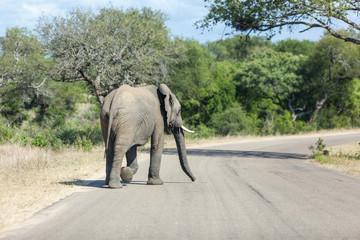 Elephant walking across the road in Kruger Park.