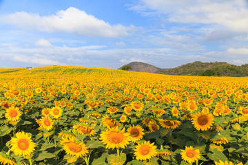Wonderful view of sunflowers field under blue sky, Nature summer